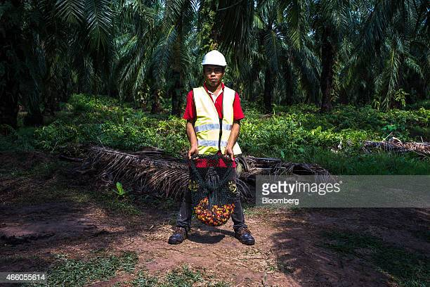 A Sime Darby Bhd employee holds a net of harvested oil palm fruit for a photograph at the company's palm oil plantation in Pulau Carey Selangor...