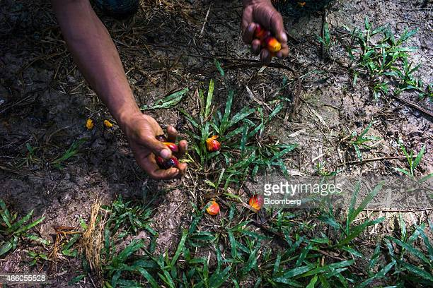 A Sime Darby Bhd employee picks up harvested oil palm fruit from the ground at the company's palm oil plantation in Pulau Carey Selangor Malaysia on...