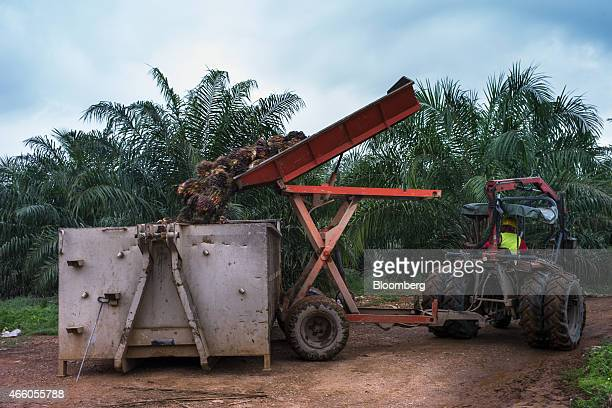 A Sime Darby Bhd employee unloads harvested oil palm fruit into a container from a tractor with a mechanized trailer at the company's palm oil...