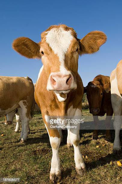Simmental Kuh im Feld