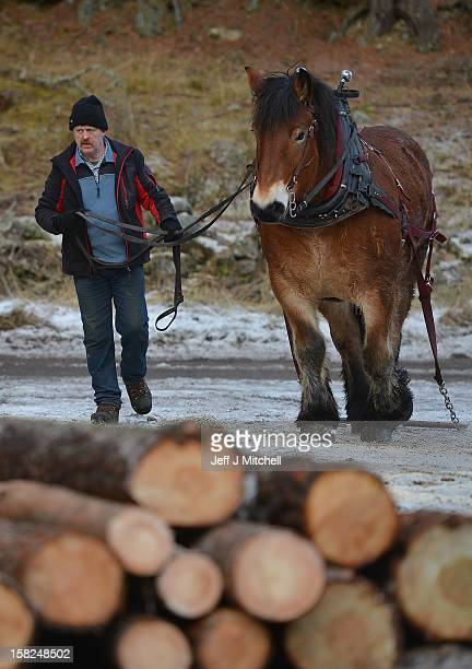 Simon Lenihan a full time commercial horse logger removes a Scots Pine tree from the Balmoral Estate with Salome Du Pre Renier a 4 year old Belgian...