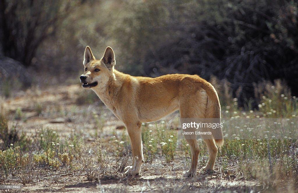 An alert Dingo standing in an open patch of desert wild flowers.