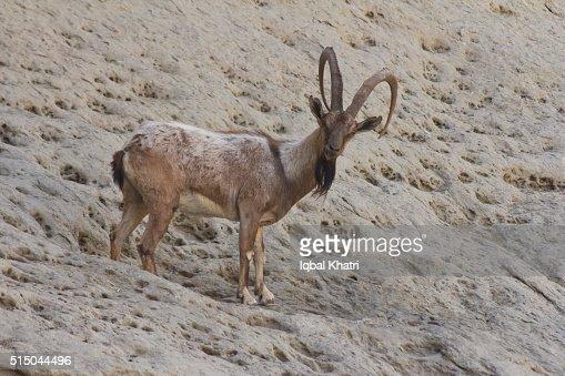 Sindh ibex - photo#17