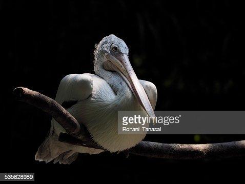 Singapore, Pelican at zoo