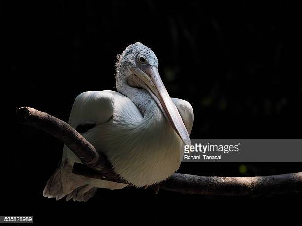 Singapore, Pelican at zoo