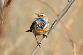 Singing Bluethroat (Luscinia svecica) at dry grass. Moscow region, Russia