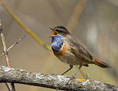 Singing Bluethroat on the branch