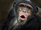 Portrait of a singing common chimpanzee