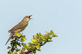 Common Grasshopper warbler brown songbird Locustella naevia mating on a tree branch during springtime in a forest.