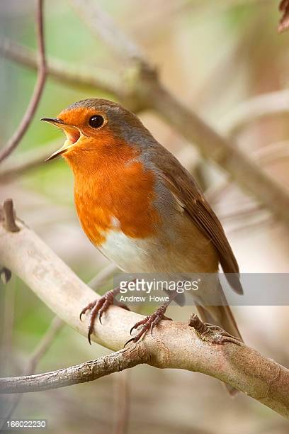 Chanter européenne Robin