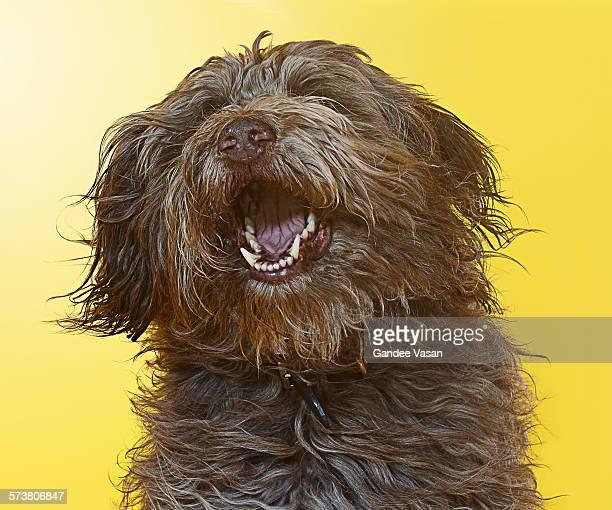 Singing Labradoodle