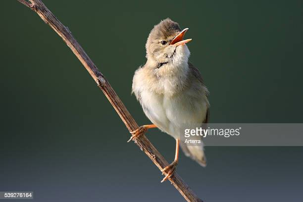 Singing marsh warbler from branch