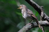 Close view of singing Thrush nightingale (Luscinia luscinia). Near Moscow, Russia