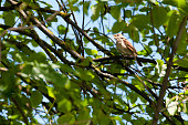 Singing nightingale (Luscinia megarhynchos), very difficult to see and photograph.