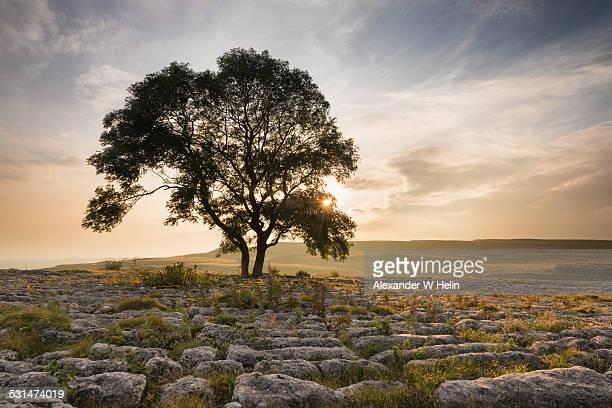 Single ash tree