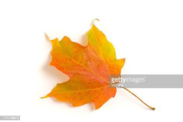 Single Autumn Maple Leaf, Turning Orange, Isolated on White Background