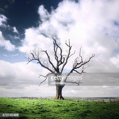 Single bare tree, Staffordshire, UK