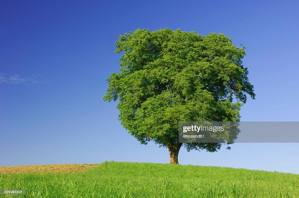 Single beech tree on a meadow in front of blue sky