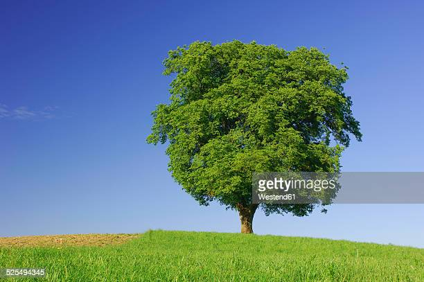 Single beech tree on a meadow in front of blue sky