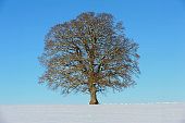 single big beech tree in field with perfect treetop in winter