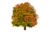 single big beech tree isolated with perfect treetop at autumn