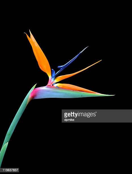 Single bird of paradise flower on a black background