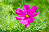 Single blossom of Mexican Aster, Cosmea, at sunlight