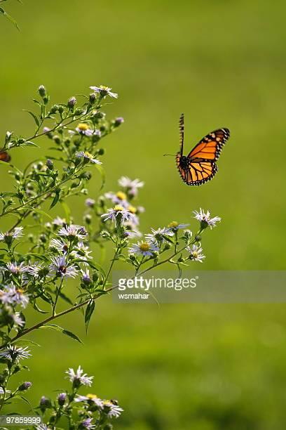 Single butterfly in flight