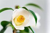 Single Camellia Flower