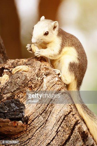 Single chipmunk eating peanut on tree. : Foto de stock