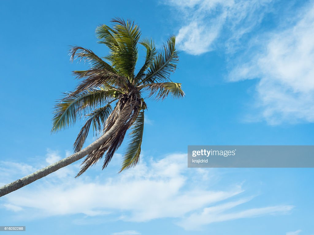 A Single coconut palm : Stock Photo