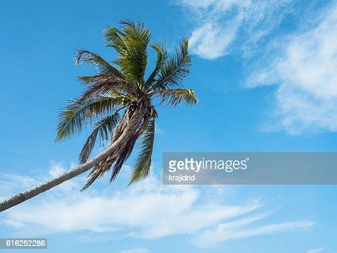A Single coconut palm : Stock Photo