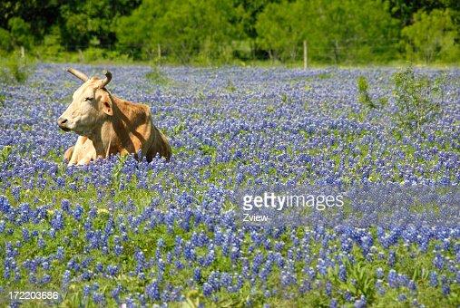 Single Cow Resting In A Field Of Texas Bluebonnet Wildflowers : Stock Photo
