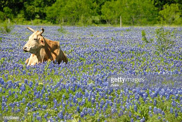 Single Cow Resting In A Field Of Texas Bluebonnet Wildflowers