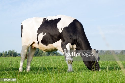 Single cow standing alone in a field of grass