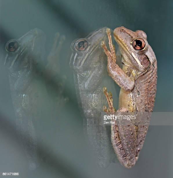 Single Cuban Tree Frog- Osteopilus septentrionalis on glass window