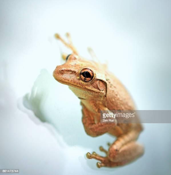 Single Cuban Tree Frog - Osteopilus septentrionalis on glass window