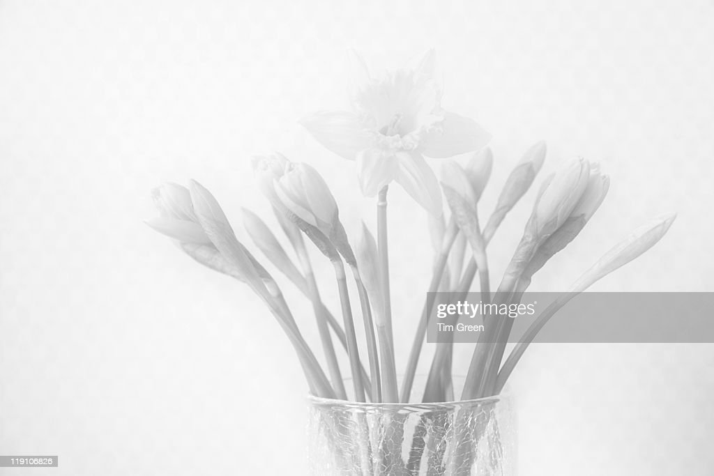 Single daffodil amongst vase full of buds : Stock Photo