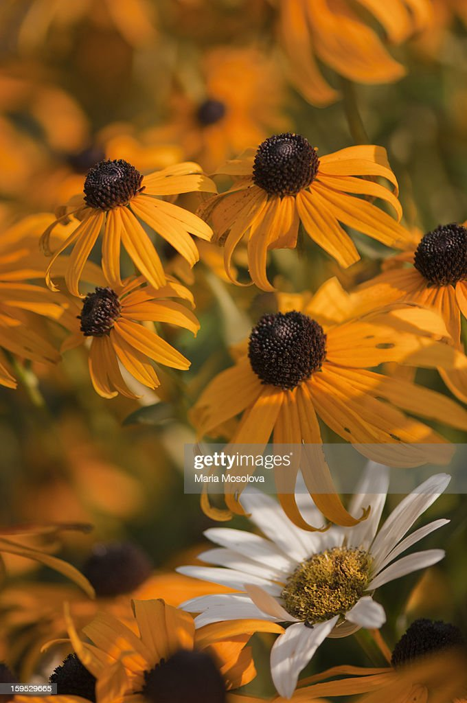Single daisy in a crowd of Black-eyed Susans : Stock Photo
