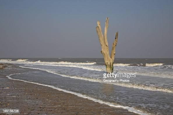Single dead tree standing in the sea symbolic of sea level rise and erosion Benacre Suffolk England