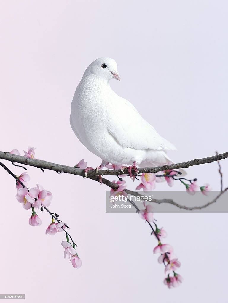 Single dove on a branch with blossom