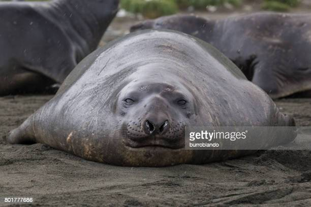 A single elephant seal sits on the shore in South Georgia