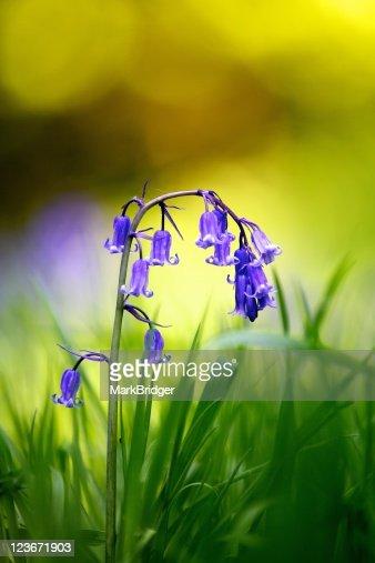 Single English bluebell : Stock Photo