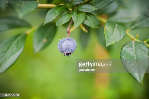 Single Fresh blueberry in nature  on the bush : Stock Photo