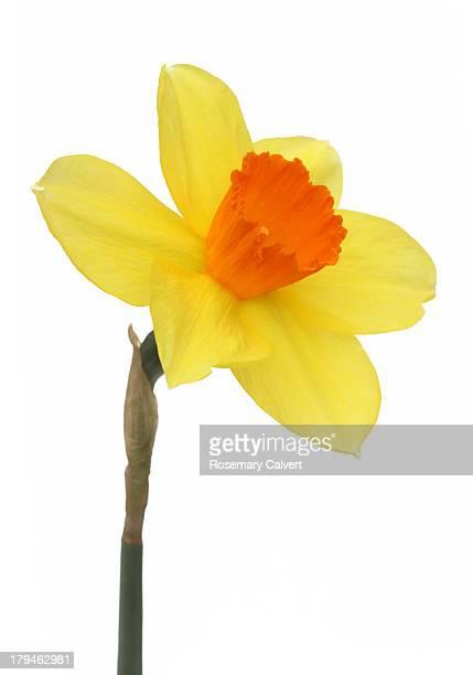 Single fresh yellow and orange daffodil.