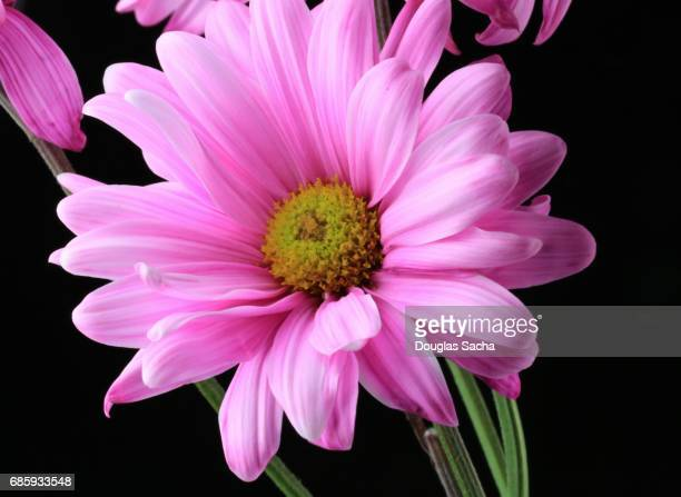 Single Gerber daisy on a black background (Gerbera)