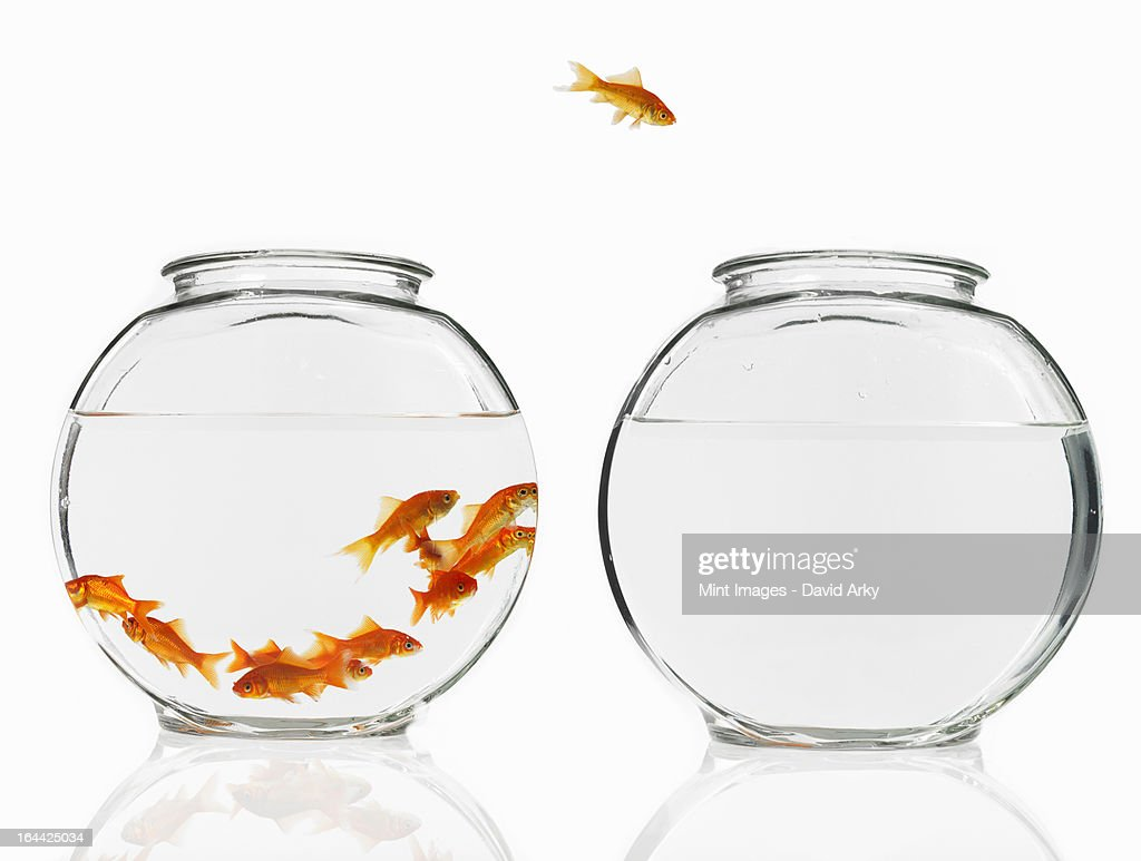 A single goldfish leaping from a crowded bowl into an empty bowl. : Stock Photo