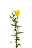 Single yellow gorse flower on fresh new foliage isolated against white