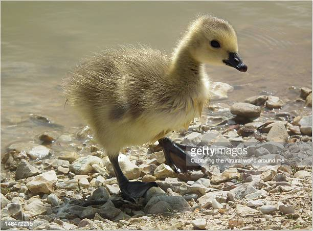 Single Gosling walking