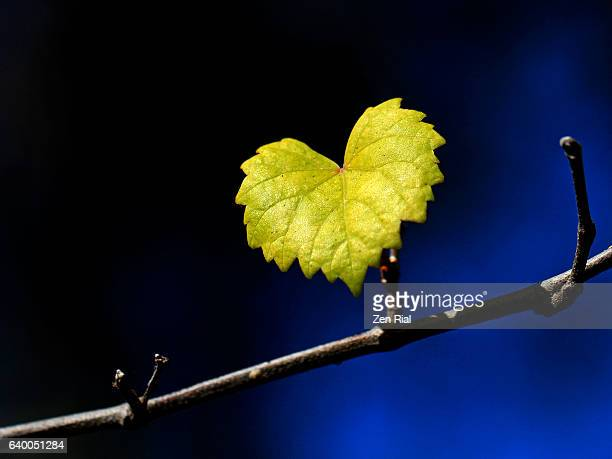 A single heart-shaped yellow leaf on a branch against blue and black background